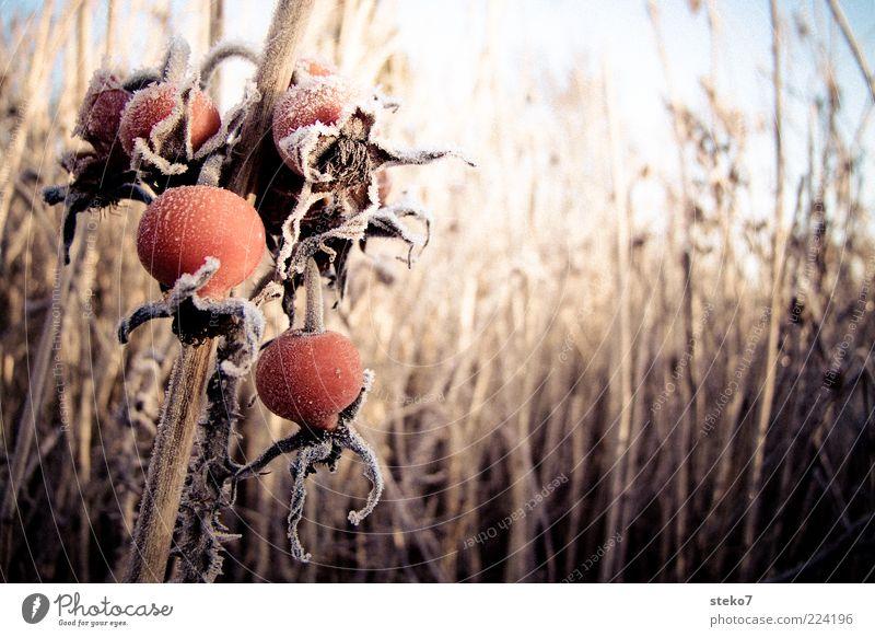 rot Pflanze Winter kalt Gras braun Eis glänzend Frucht Frost trocken Stengel Schilfrohr frieren verblüht Raureif