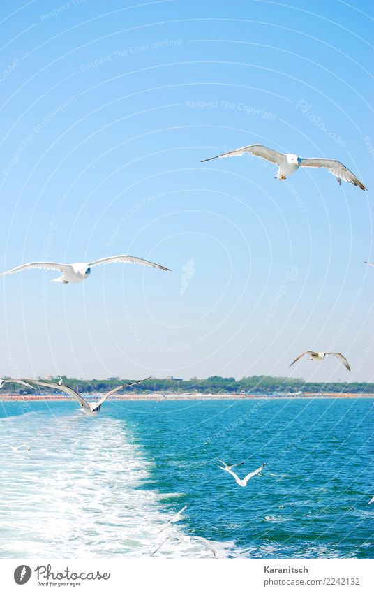 Möwenschwarm am Meer Ferien & Urlaub & Reisen Ferne Freiheit Kreuzfahrt Sommer Sommerurlaub Sonne Wellen Umwelt Natur Landschaft Luft Wasser Wolkenloser Himmel