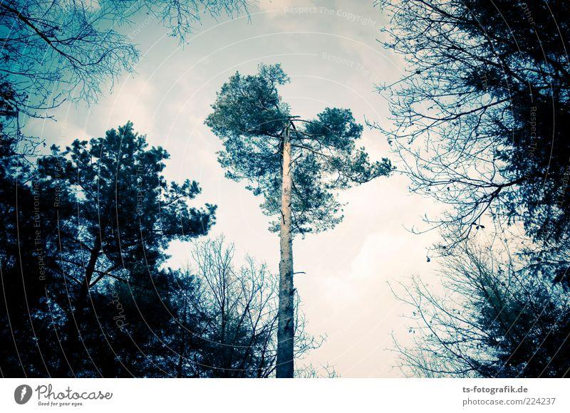 Waldmeister I Umwelt Natur Landschaft Pflanze Himmel Wolken Herbst Winter Baum blau grün Waldsterben Kiefer Ast Laubbaum Mischwald Baumstamm Nadelwald kahl