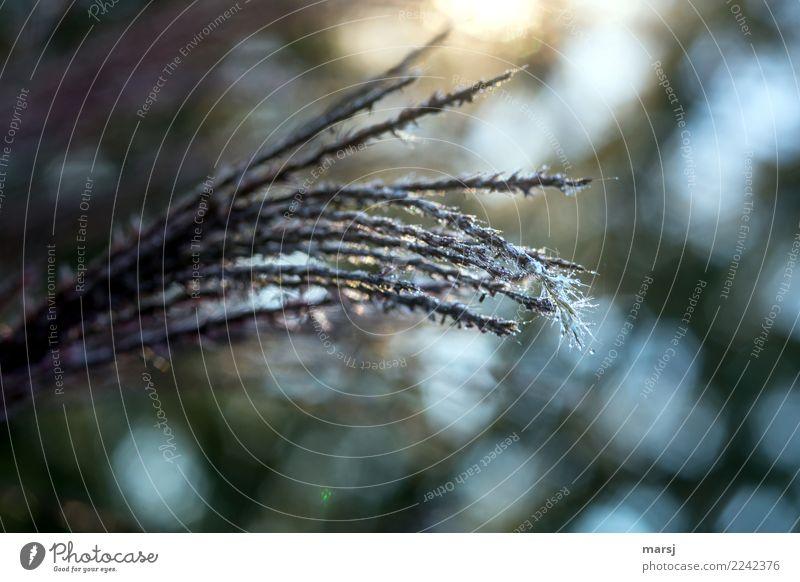Tristesswedel Natur Pflanze dunkel Herbst kalt Blüte Traurigkeit natürlich Tod trist authentisch Blühend einzigartig Trauer Sehnsucht dünn