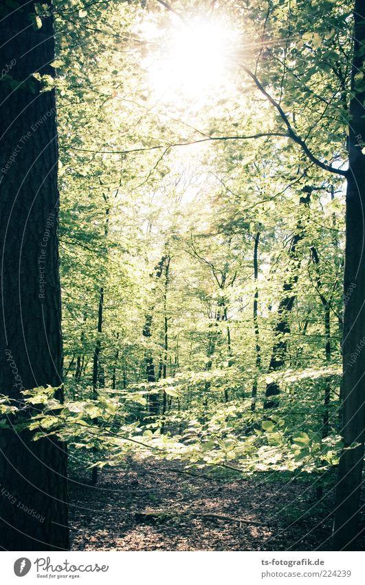Waldmeister II Umwelt Natur Landschaft Pflanze Urelemente Sonne Sonnenlicht Sommer Schönes Wetter Baum Blatt frisch grün Buche Buchenwald Laubwald Blätterdach