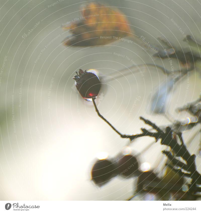 Between Umwelt Natur Pflanze Blatt Beeren ästhetisch natürlich Vergänglichkeit Unschärfe Sträucher Farbfoto Außenaufnahme Nahaufnahme Menschenleer Tag