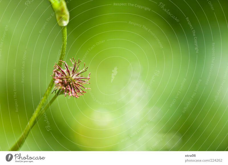 grün Natur Pflanze Blüte Umwelt rosa Halm verblüht Sonnenlicht