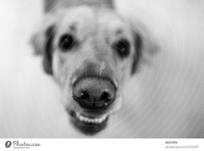 an angry dog says goodbye weiß schwarz Auge Tier Hund Nase gefährlich bedrohlich Ohr Gebiss Tiergesicht Wut Fell unten Stress Kontrolle