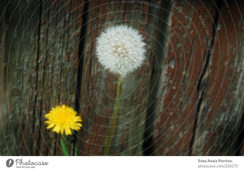 erwachsen werden. Pflanze Blume Löwenzahn Fassade Holz Blühend alt trist gelb Farbfoto Gedeckte Farben Außenaufnahme Menschenleer Textfreiraum rechts verblüht