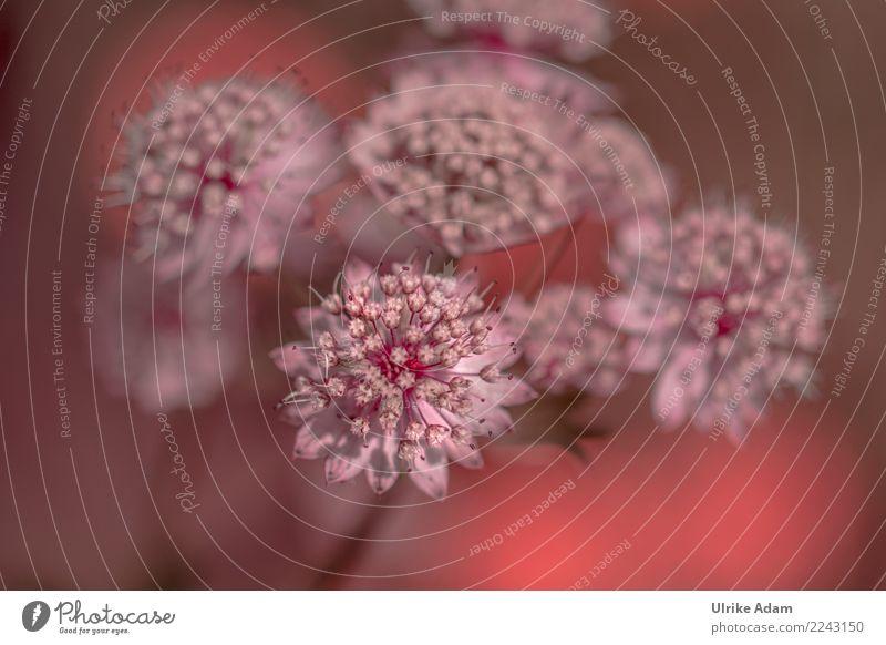 Rosa Sterndolden (Astrantia) Natur Pflanze Sommer schön Blume Erholung ruhig Blüte Frühling natürlich Garten rosa Park Dekoration & Verzierung frisch groß
