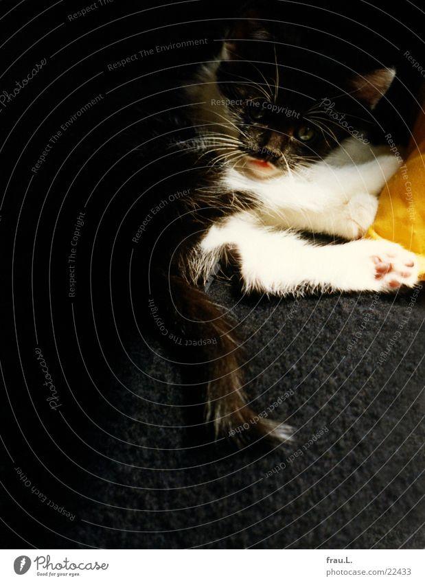 kleine Katze Oberlippenbart Katzenbaby Sofa gelb schwarz Kissen schlafen Fell Tier Haustier träumen Geborgenheit Pfote Erholung Hauskatze ruhig ruhen Halbschlaf