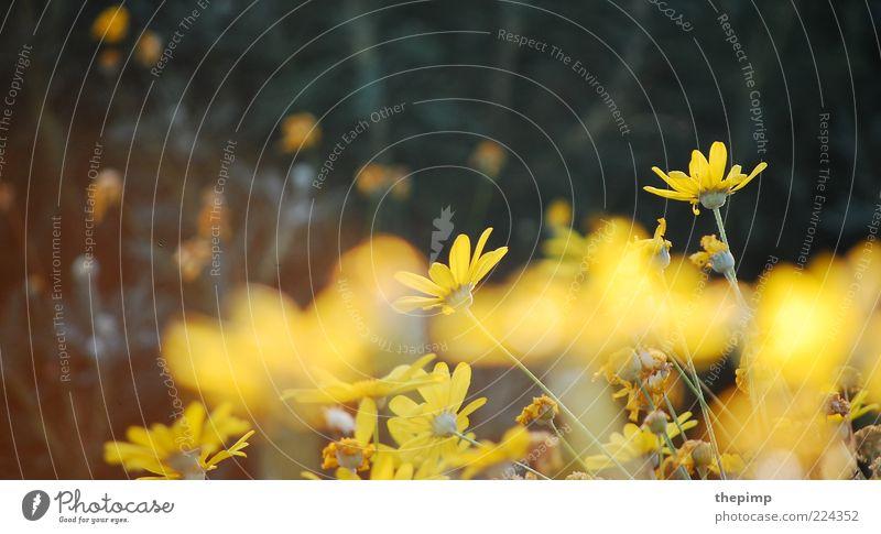 Herbstblumen Sommer Umwelt Natur Pflanze Frühling Blume gelb Farbfoto Außenaufnahme Textfreiraum links Textfreiraum oben Margerite Menschenleer Blühend