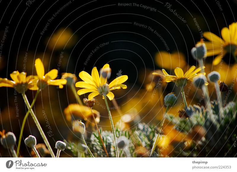 Herbstblumen II Sommer Umwelt Natur Pflanze Blume Blüte Wildpflanze mehrfarbig gelb Farbfoto Außenaufnahme Textfreiraum oben Margerite Sonnenlicht Wachstum