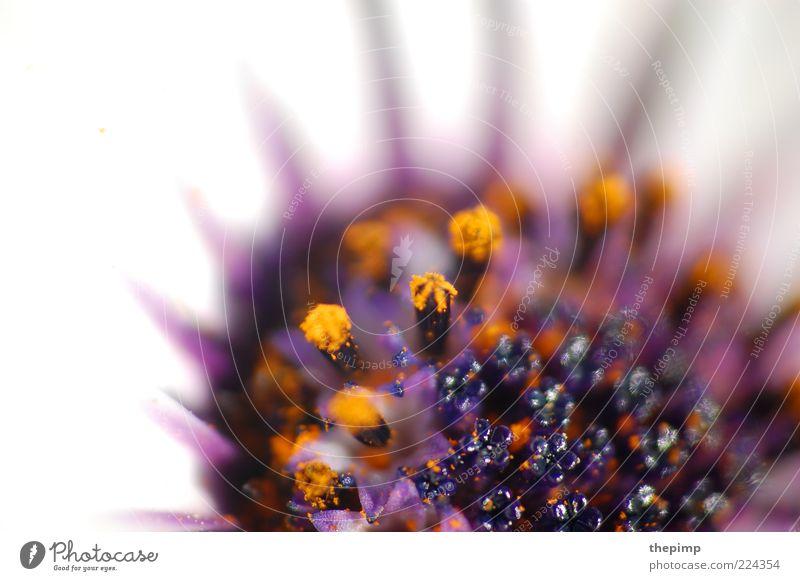Blume Sommer Umwelt Natur Pflanze Blüte exotisch gelb violett weiß Makroaufnahme Textfreiraum links Starke Tiefenschärfe Blütenstempel Menschenleer Unschärfe