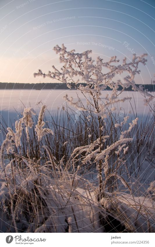 winterschlaf Winter Schnee Natur Landschaft Pflanze Wolkenloser Himmel Schönes Wetter Gras Sträucher Wiese Feld frieren glänzend kalt schön blau silber weiß