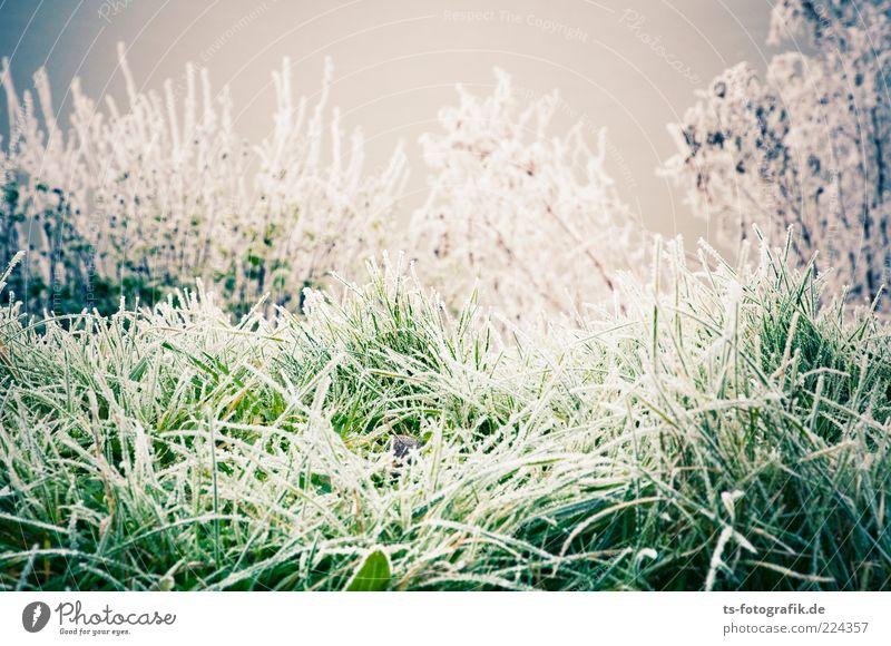 Winter-Zuckergras Umwelt Natur Landschaft Pflanze Urelemente Wetter Eis Frost Schnee Gras Sträucher Grünpflanze Wiese kalt grau grün weiß Raureif Eiskristall