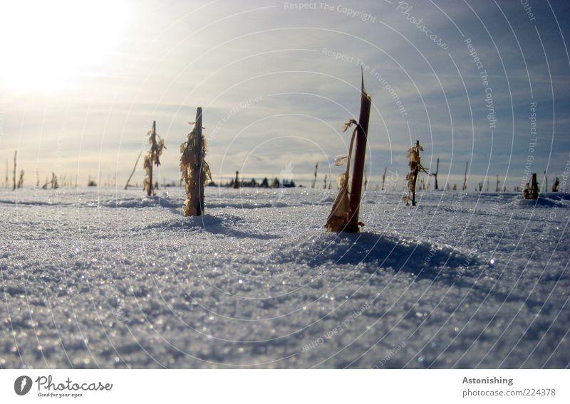 eingeschneit Umwelt Natur Himmel Sonne Sonnenlicht Winter Wetter Schönes Wetter Eis Frost Schnee Pflanze Nutzpflanze Feld stehen klein blau weiß kurz Mais