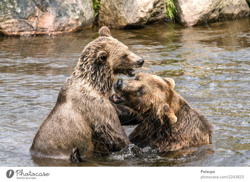 Zwei Bären, die in einem Fluss kämpfen Natur Mann Sommer Tier Wald Erwachsene Leben natürlich Spielen Paar See braun Felsen wild Park USA