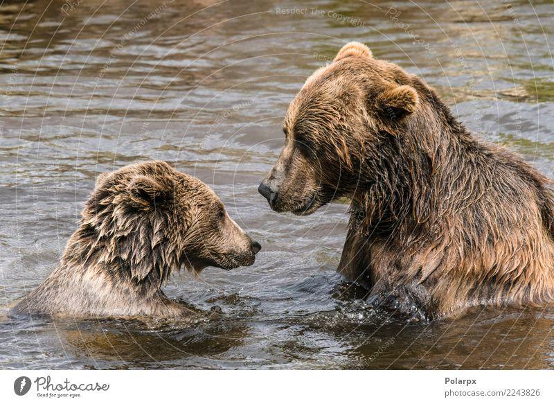 Zwei Bären haben eine ernsthafte Unterhaltung in einem Fluss Natur Sommer Tier dunkel Erwachsene sprechen Herbst natürlich See braun wild groß niedlich nass