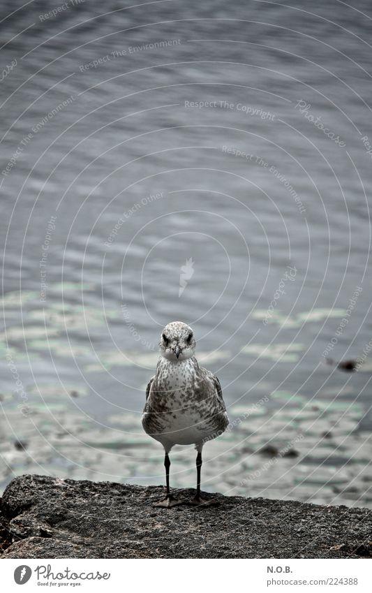 Du oder ich! Wasser Tier Stein Vogel bedrohlich Wildtier Möwe Stolz Aggression selbstbewußt rebellisch gefiedert Wasseroberfläche gereizt Duell Wasserspiegelung
