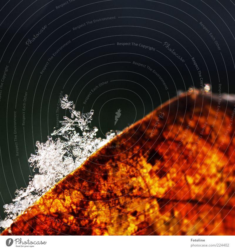 Erster oder letzter Schnee? *Für Helgi* Umwelt Natur Pflanze Winter Eis Frost Blatt Coolness hell kalt nass natürlich braun weiß Schneeflocke Eiskristall