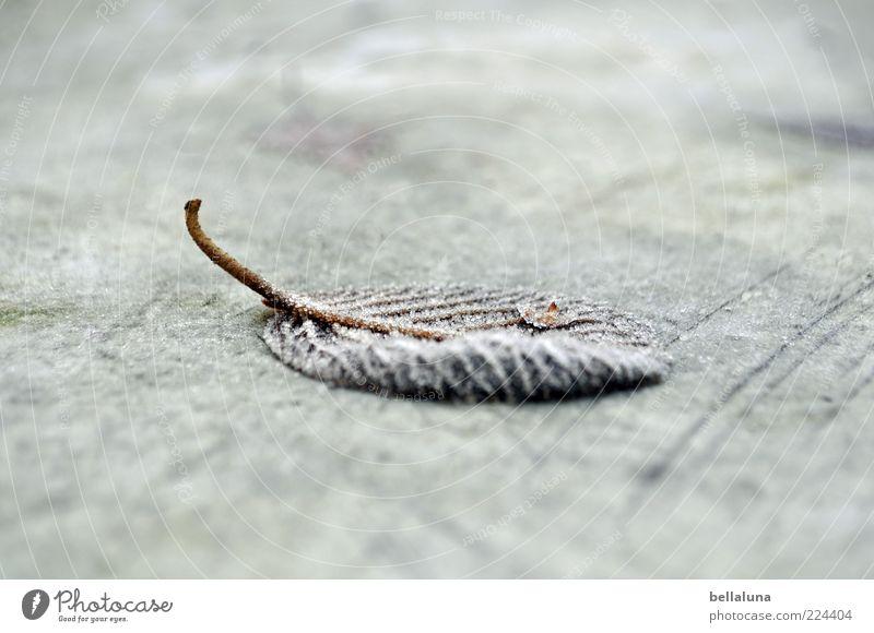 Eisiger Bote * für Helgi * Natur Pflanze Winter Blatt kalt liegen Bodenbelag Frost gefroren Stengel vertrocknet Raureif Unschärfe Blattadern