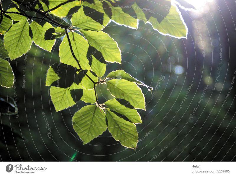 Zweig mit leuchtenden Blättern einer Buche im Gegenlicht vor dunklem Hintergrund Umwelt Natur Pflanze Sonnenlicht Sommer Schönes Wetter Baum Blatt Ast Wald
