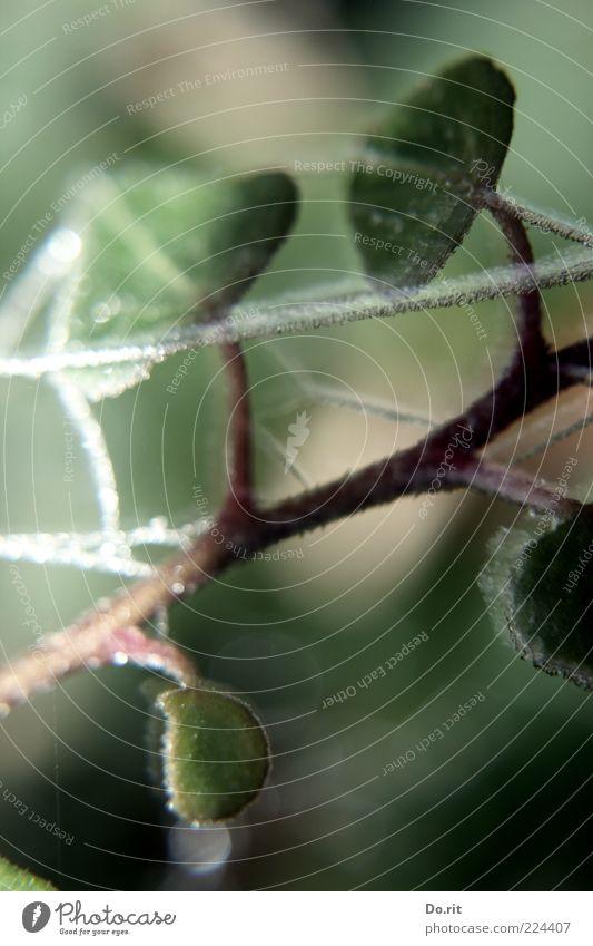 frostige Glückwünsche Natur grün Pflanze Winter Blatt kalt dunkel hell Eis Klima Frost gefroren saftig Lichtspiel Efeu Ranke