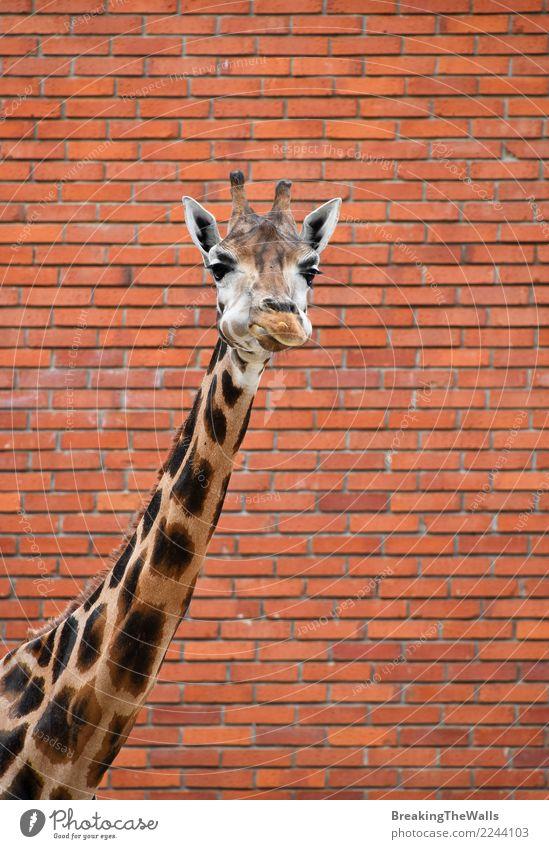 Giraffeporträt über Backsteinmauerabschluß oben Natur Tier Mauer Wand Backsteinwand Wildtier Tiergesicht Zoo Hals Säugetier Kopf 1 lang wild rot Baustein