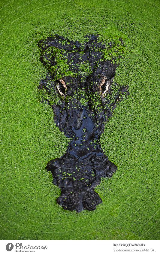 Schließen Sie herauf Porträt des Krokodils in der grünen Entengrütze Fotokamera Natur Tier Fluss Wildtier Zoo 1 hässlich wild gefährlich bedrohlich Alligator