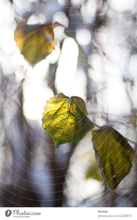 Noch ein paar Blätter für Helgi Natur grün Pflanze Winter Blatt Herbst Umwelt hell Wachstum Sträucher leuchten hängen Schönes Wetter Grünpflanze Blattadern Zweige u. Äste