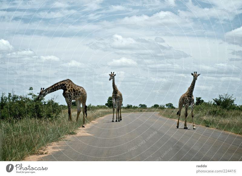 Langhals-Trio Safari Natur Wolken Sommer Südafrika Afrika Menschenleer Straße Tier Wildtier Giraffe 3 Tiergruppe Tierfamilie beobachten Fressen gehen genießen