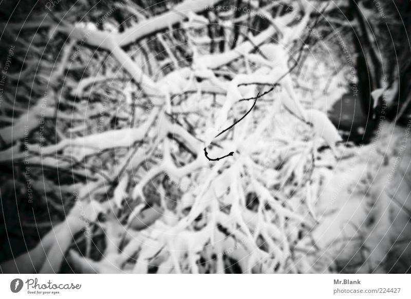 winterlich VII Natur Pflanze Eis Frost Schnee Sträucher Wald beobachten warten dunkel kalt schwarz weiß Traurigkeit Einsamkeit Ast Schwarzweißfoto Außenaufnahme