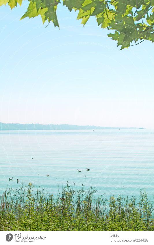 die schönere Jahreszeit Umwelt Natur Landschaft Wasser Himmel Wolkenloser Himmel Frühling Sommer Klima Schönes Wetter Blatt Grünpflanze Seeufer Bodensee nass