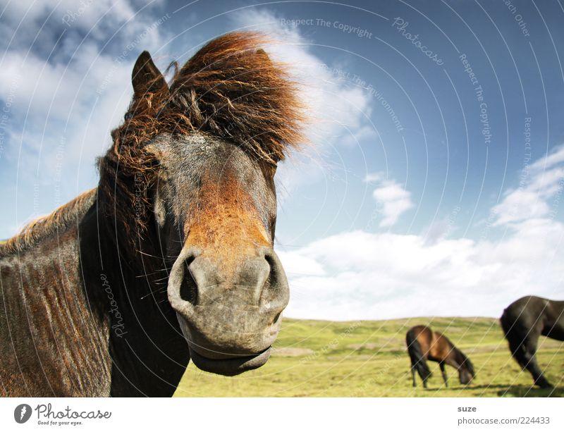Wenn jetzt Somma wär ... Natur Landschaft Tier Himmel Wolken Wind Nutztier Wildtier Pferd Tiergesicht Herde stehen warten ästhetisch Freundlichkeit lustig