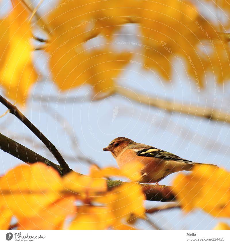 Hab Dich! Umwelt Natur Pflanze Tier Herbst Blatt Ast Vogel 1 hocken Blick sitzen frei klein natürlich niedlich blau gelb Freiheit Farbfoto mehrfarbig