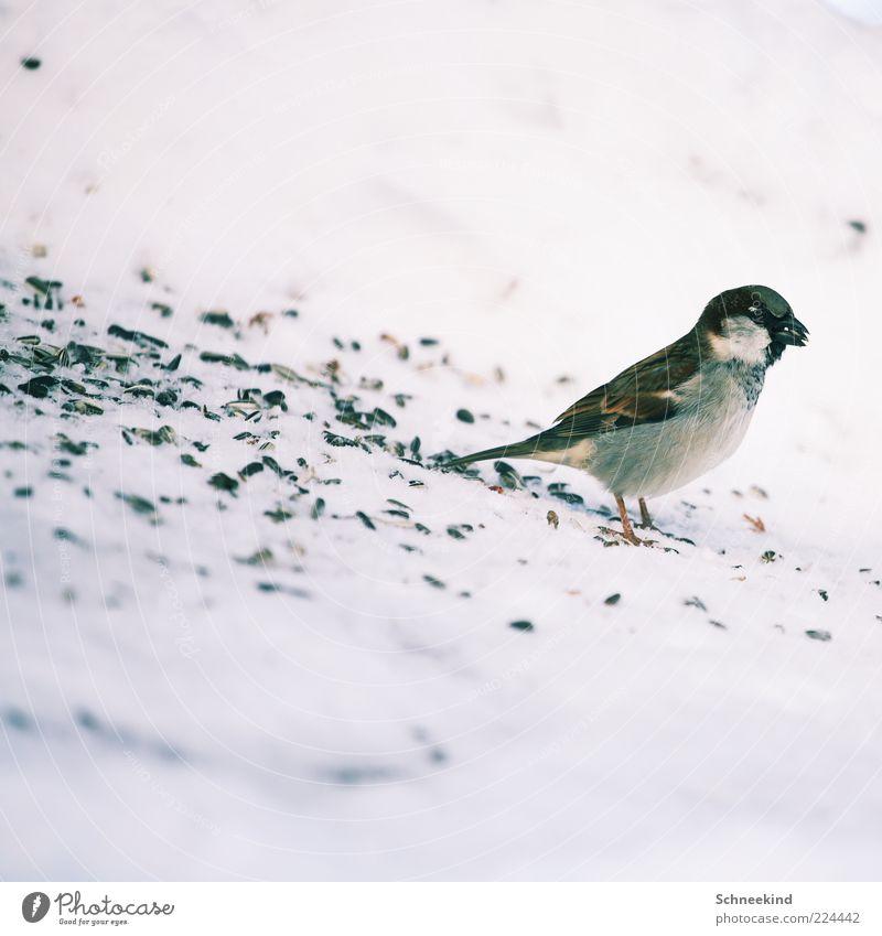 Mahlzeit Umwelt Natur Tier Wildtier Vogel 1 beobachten Fressen füttern ästhetisch frech schön wild Tierliebe geduldig ruhig Spatz Vogelfutter süß Spektakel