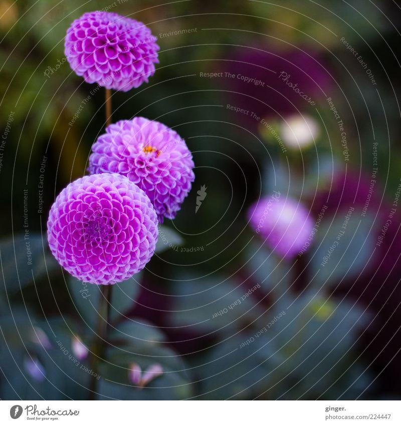 Wider das ewige Weiß und Grau Natur Pflanze Blume grün violett rosa Kontrast Kugel Dahlien Knollengewächse Blütenpflanze Blütenblatt Menschenleer Farbfoto