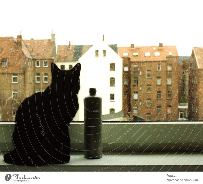 Sehnsucht Katze Haus Fenster Hannover Hinterhof schwarz gefangen Wunsch Wohnung Fensterbrett Tier Säugetier Häusliches Leben Linde Flasche beobachten Sehne