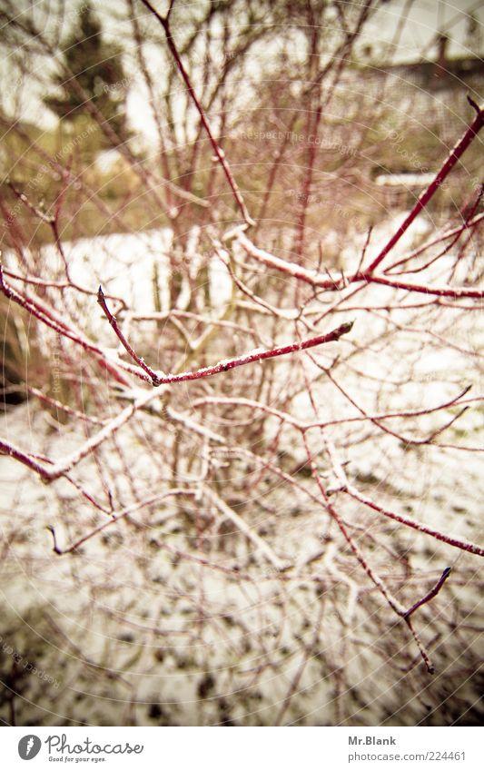 winterlich I Natur weiß rot Pflanze Winter schwarz kalt dunkel Schnee Garten Eis Frost Sträucher exotisch Zweig