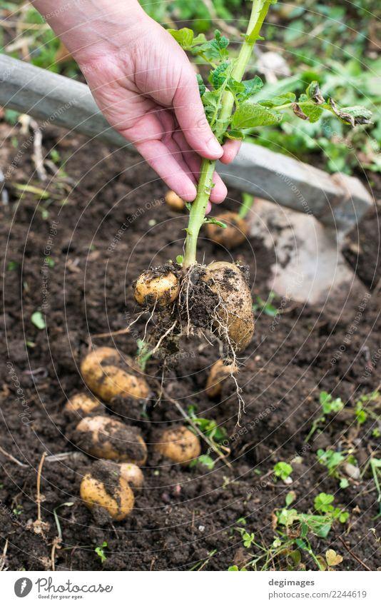 Graben von reifen Kartoffeln Gemüse Garten Gartenarbeit Hand Pflanze Erde frisch natürlich Ernte Schürfen Feld Feldfrüchte organisch Lebensmittel Bauernhof