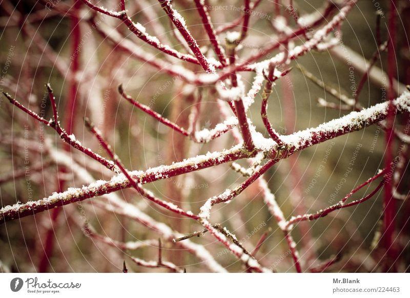 winterlich XIII Natur Pflanze Winter Eis Frost Schnee Sträucher dunkel kalt braun rot weiß Einsamkeit Gedeckte Farben Außenaufnahme Menschenleer Tag Unschärfe