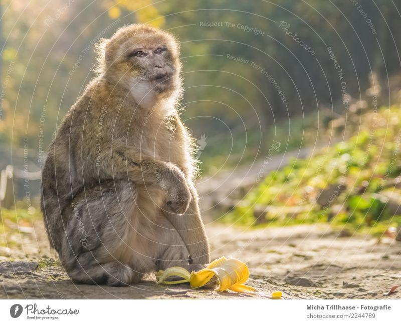 Die Sonne genießen Frucht Banane Bananenschale Ernährung Natur Sonnenlicht Schönes Wetter Pflanze Baum Sträucher Wald Tier Wildtier Tiergesicht Fell Pfote Affen