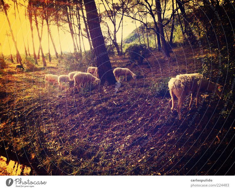 Tiergruppe retro Schaf Feld Fressen Wald Andalusien Spanien Baum Erde Weide Schäfer Farbfoto Außenaufnahme Menschenleer Morgendämmerung