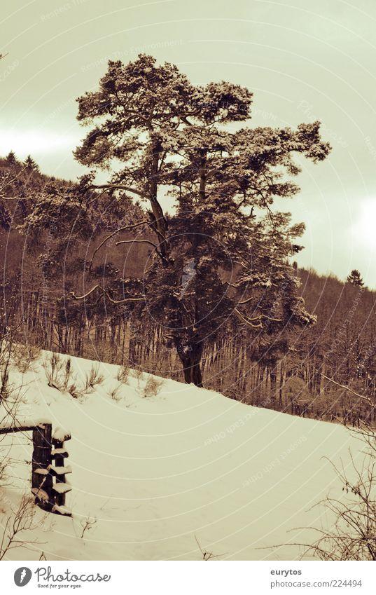 Kiefer Umwelt Natur Landschaft Pflanze Winter Klima Klimawandel Wetter schlechtes Wetter Baum Nadelbaum Wald Weide Farbfoto Außenaufnahme Textfreiraum unten Tag