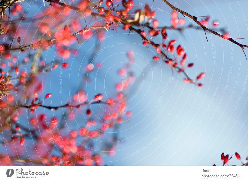 RotBlau Natur Pflanze Himmel Herbst Sträucher blau rot Vergänglichkeit Berberitze Beeren Dornenbusch Außenaufnahme Menschenleer Textfreiraum rechts