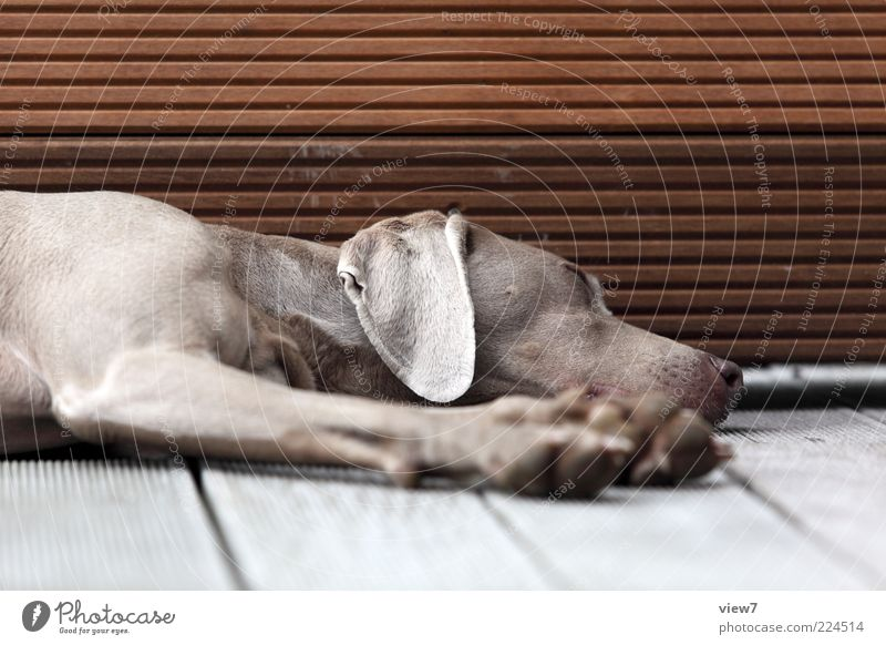 nichts machen. Tier Haustier Hund 1 Holz Linie Streifen alt Erholung schlafen träumen authentisch elegant schön weich Sicherheit Gelassenheit ruhig Langeweile