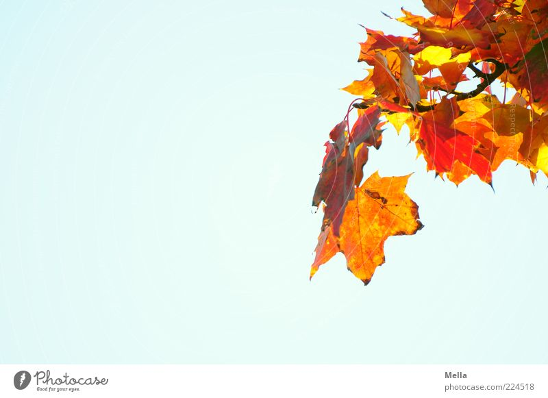 Bunt Umwelt Natur Pflanze Luft Himmel Herbst Blatt Ahorn Ahornblatt Ahornzweig Zweig leuchten verblüht natürlich blau mehrfarbig gelb rot Farbe Verfall