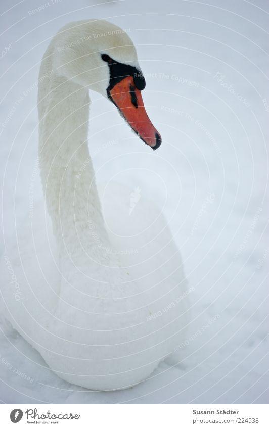 Schönheit Tier Wildtier Vogel Schwan 1 beobachten schön elegant Anmut Schnee Winter Einsamkeit Farbfoto Abend Dämmerung Schatten Kontrast Zentralperspektive