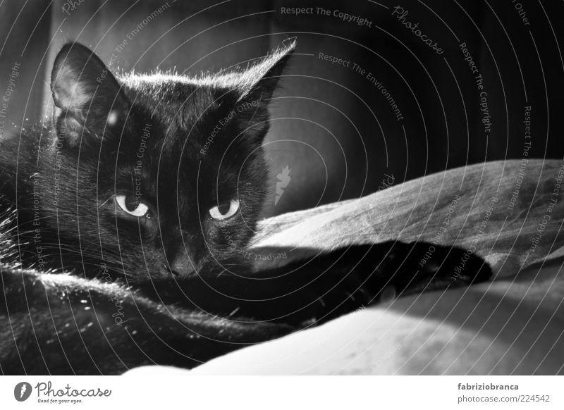 Fernet ruhig schwarz Tier dunkel Katze Zufriedenheit weich Tiergesicht niedlich Fell Haustier bequem Hauskatze Schwarzweißfoto Trägheit faulenzen