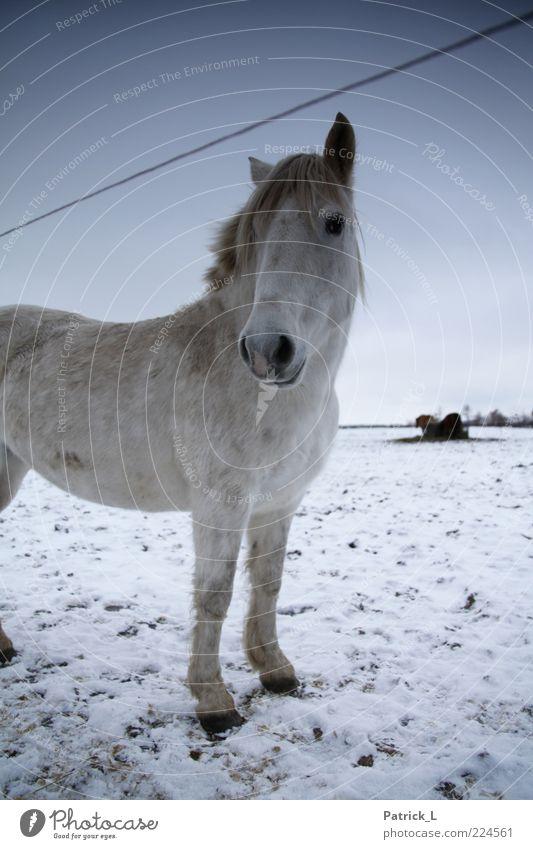 """""""Kleiner Onkel"""" Pferd 1 Tier Zufriedenheit Ausdauer Neugier Leben blau weiß Winter Wachsamkeit Weide Freiheit frisch Eis kalt Himmel Boden Farbfoto"""