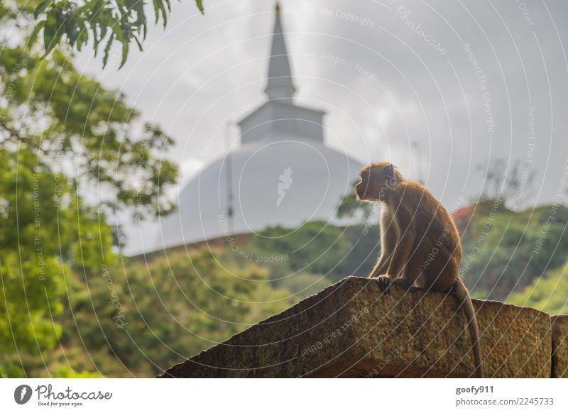 Heiliger Affe Ferien & Urlaub & Reisen Tier Ferne Tourismus Ausflug Wildtier sitzen Abenteuer beobachten entdecken Hügel festhalten Sehenswürdigkeit Asien