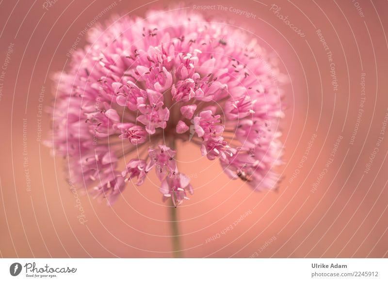 Blüte des Zierlauch (Allium) elegant Leben harmonisch Wohlgefühl Zufriedenheit Erholung ruhig Meditation Dekoration & Verzierung Tapete Bild Natur Pflanze