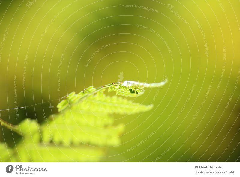neulich im wald Umwelt Natur Pflanze Farn Grünpflanze Wildpflanze Wachstum ästhetisch natürlich grün nachhaltig Spinnennetz Makroaufnahme grün-gelb Blatt